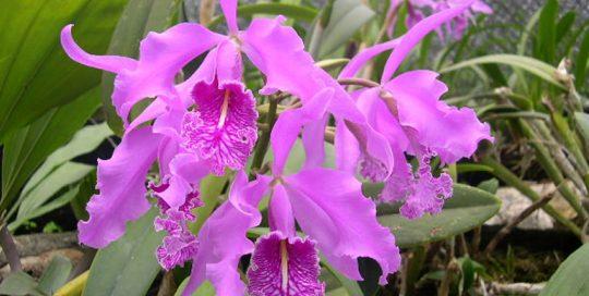 Cattleya Maxima - Jardin de Orquídeas